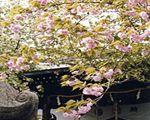 社殿の左右にある八重桜