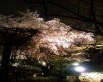 名物枝垂れ桜