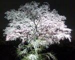 第二の枝垂れ桜
