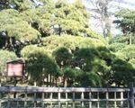 三百年の松